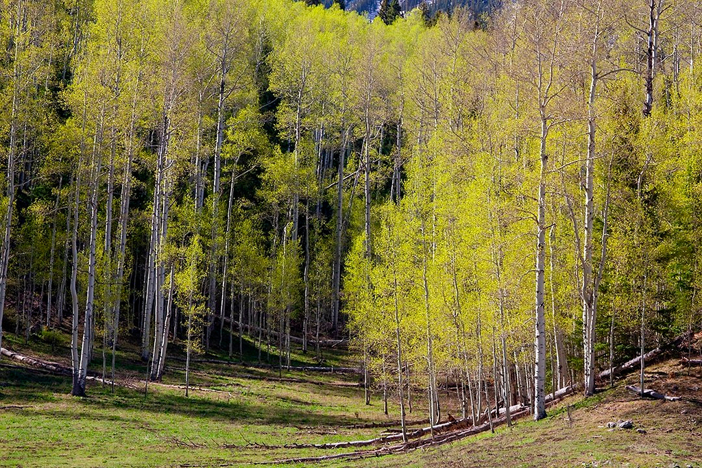 (SN-10065)  Springtime aspens - Uncompahgre National Forest.