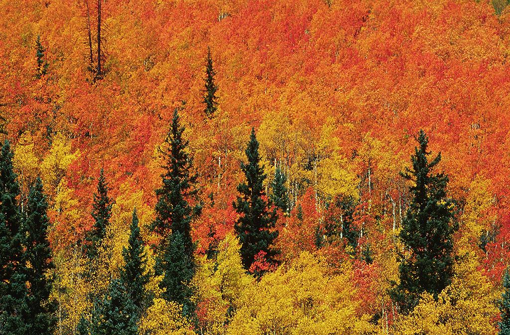 (C019)  Fir trees in an ocean of aspen color; San Juan National Forest.