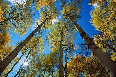(B035)  Sunlight Through Aspens