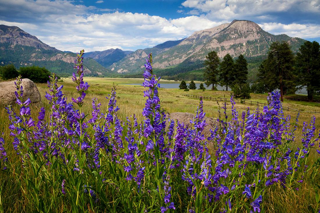 (SJ-11200)  Rocky Mountain Penstemon