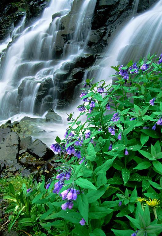 (A066)  Mountain Bluebells beside Twin Falls in Yankee Boy Basin.