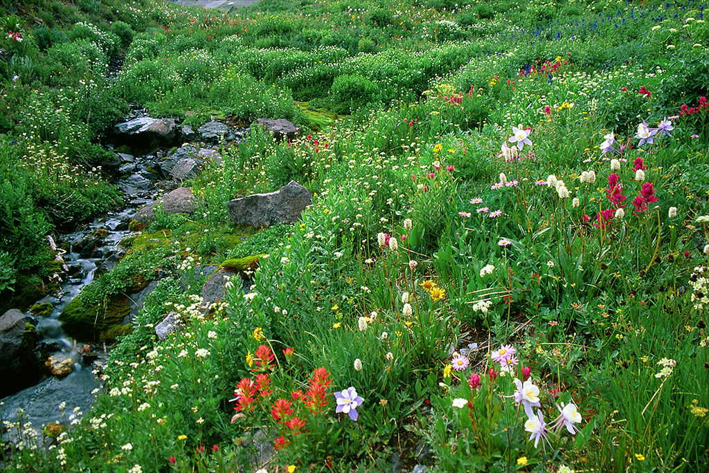 (C013)  Indian paintbrush, blue columbine, bistort, and a variety of other alpine wildflowers in Yankee Boy Basin.