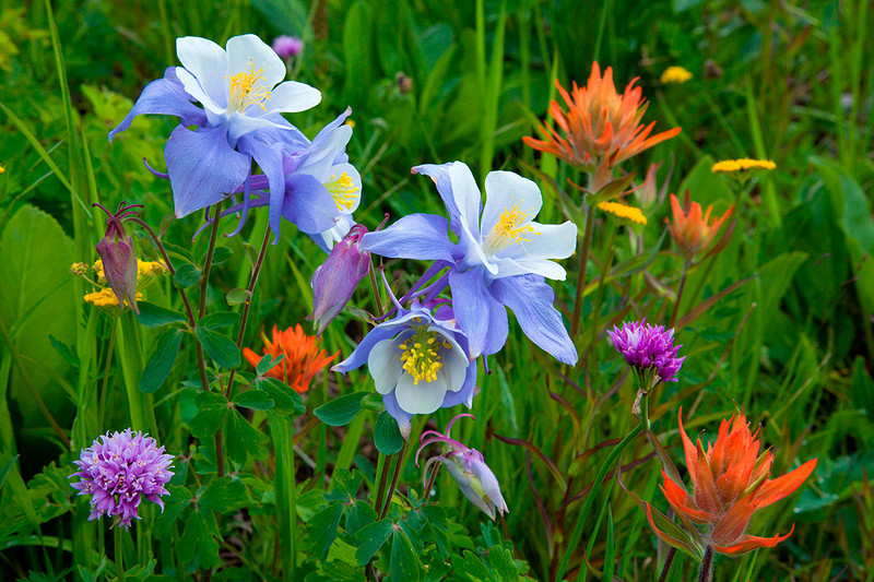 MG-9049  Blue Columbine and Indian Paintbrush.