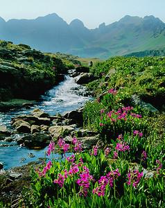 (G045)  Parry's Primrose along Clear Creek.