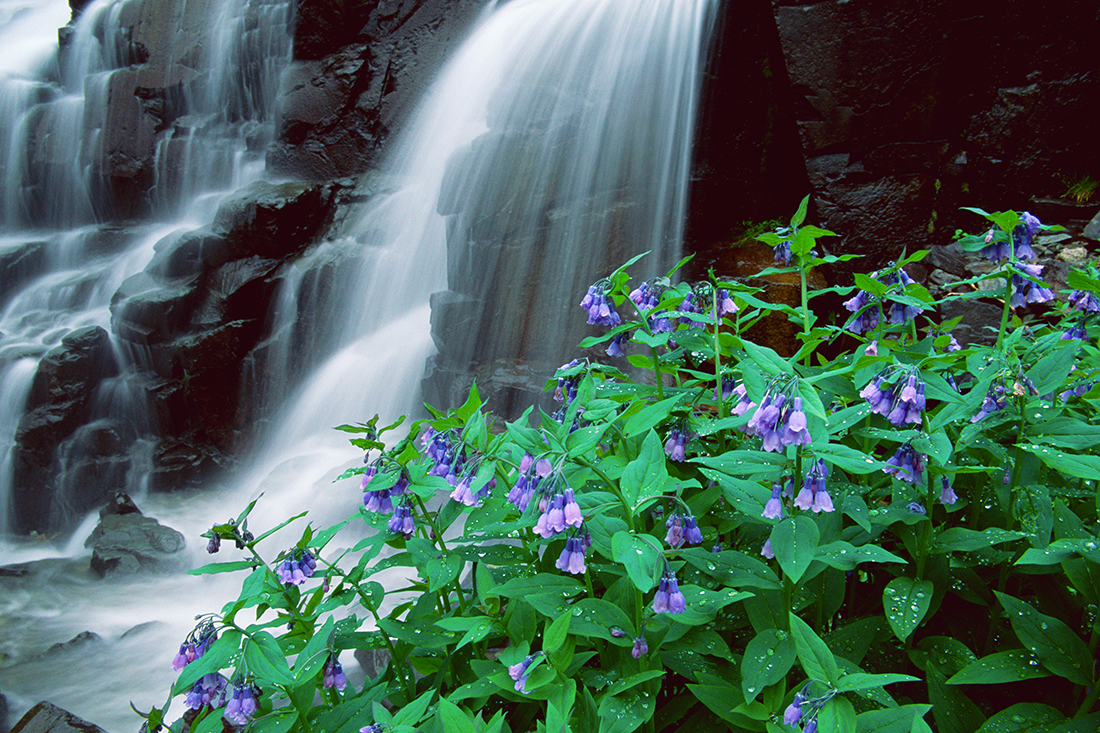 (A065) Mountain Bluebells beside Twin Falls in Yankee Boy Basin.