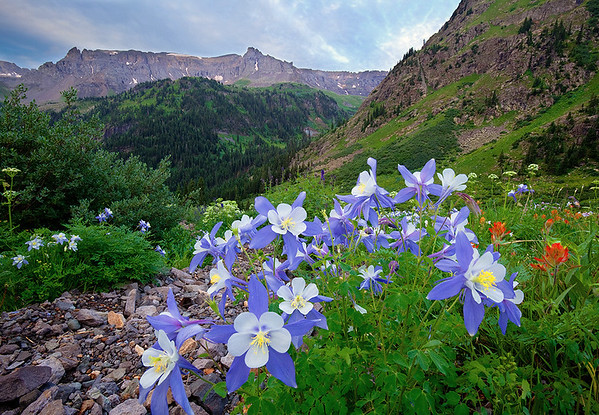 (YB-10019-20)  Blue Columbine and Mendota Peak from Yankee Boy Basin.