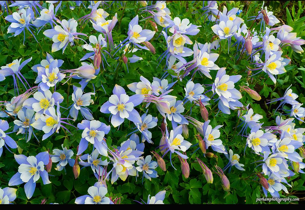 Bunches of Blue Columbine  (SJ-16144)