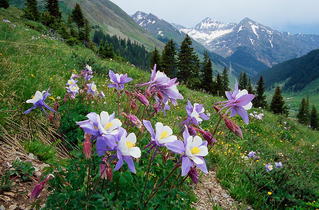 (SJ-0420)  Columbine Above Animas Forks