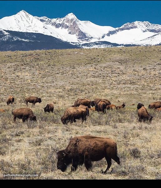 Bison and Sangre de Cristos  (SC-16015)