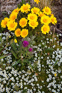 (WF-11010)  Alpine Wildflowers on Hermit Pass