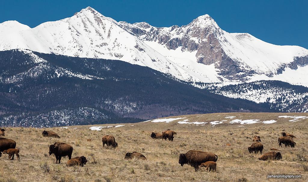 Bison and Sangre de Cristo peaks  (SC-16010)