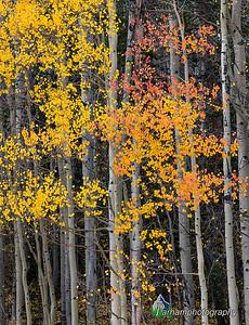 Autumn aspens below Boreas Pass  (CM-19508)
