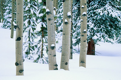 (D038)  Aspen boles in the Collegiate Peaks