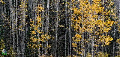 Autumn aspens below Boreas Pass  (CM-19506)