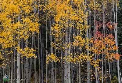 Autumn aspens below Boreas Pass (CM-19509)