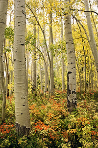 (B005)  Autumn aspens below Independence Pass