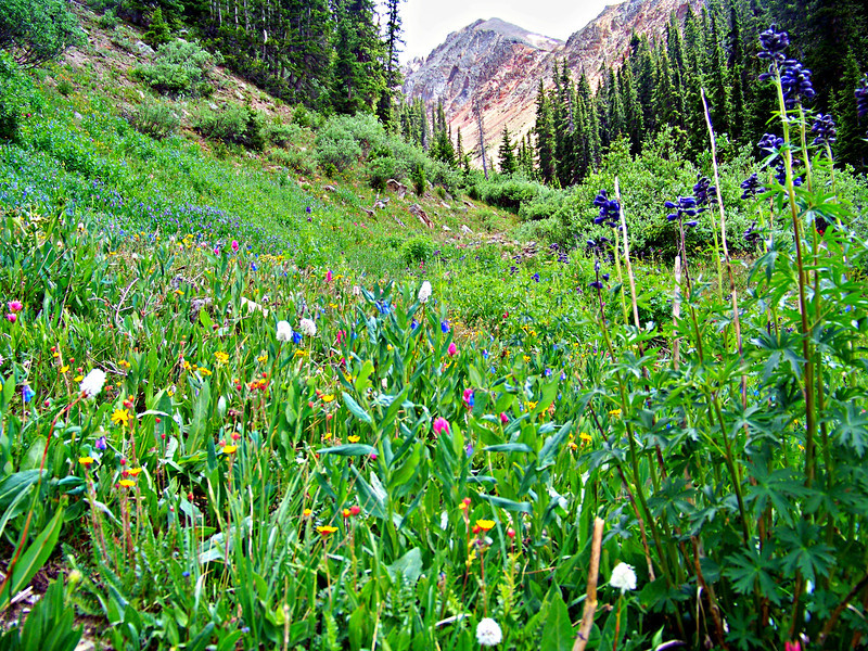 A field of Wildflowers in the Southfork Silver Creek drainage between Redcloud and Sunshine Peaks.
