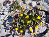 Wildflowers fight for survival high on barren east slopes of Mt. Shavano.