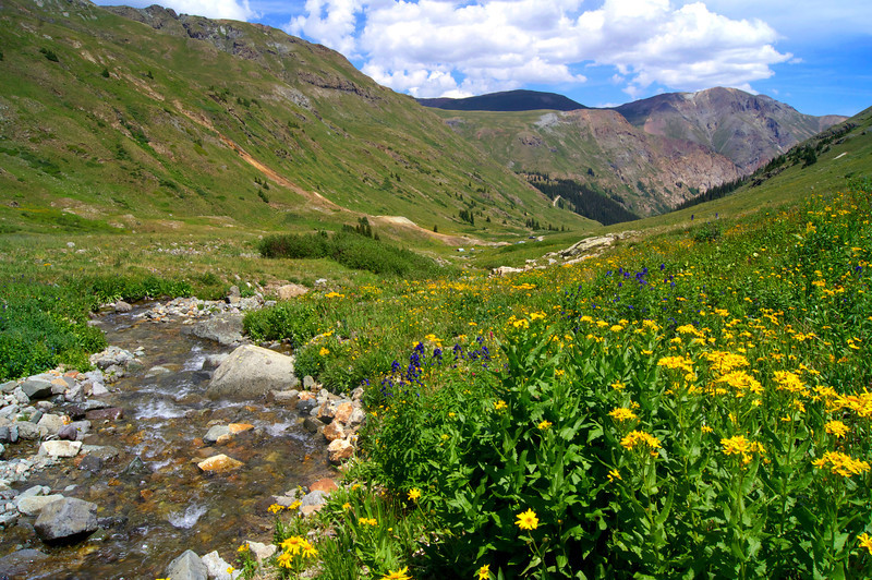 Wildflowers grow in abundance in the American Basin beneath Handies Peak; Colorado San Juan Range.