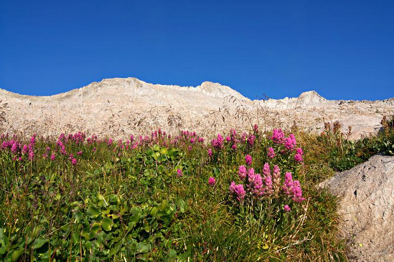 Mid summer wildflowers flourish above 12,000 feet on Snowmass Mountain; Colorado Elk Range