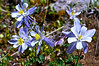 Columbines along the lower Missouri Gulch trail; Colorado Sawatch Range.