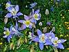 Countless Columbines and a large array of wildflowers adorn the western slopes of Mounts Evans and Bierstadt, Colorado Front Range.