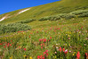 Fields of colorful wildflowers line the Grays/Torreys trail above treeline, Colorado Front Range.