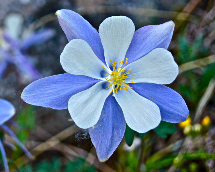 A elegant blue Columbine along the lower Missouri Gulch trail; Colorado Sawatch Range.