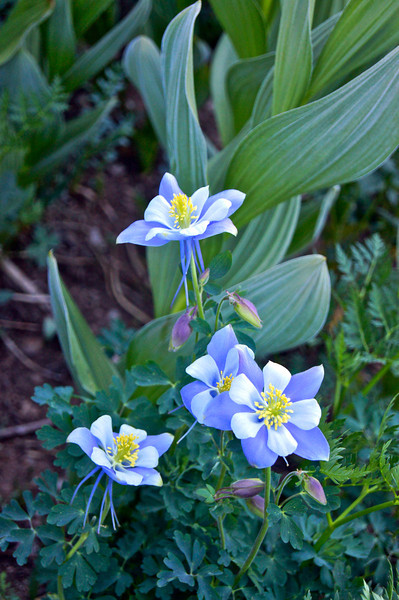 Columbines in the deep, rich foliage of the Chicago Basin; Colorado San Juan Range