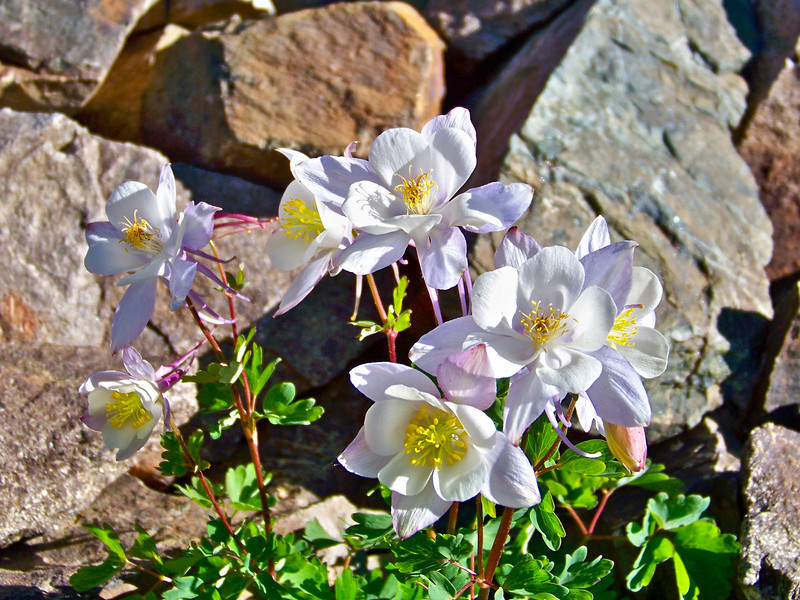 Beautiful White Columbines thrive at 12,500 ft. along the Castle Peak trail, Colorado Elk Range.