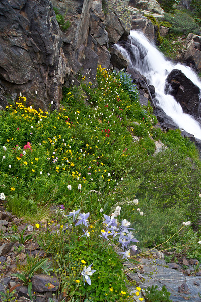 Columbines and many other colorful wildflowers tucked away under a cliff wall alongside Continental Falls, near Breckenridge, CO.