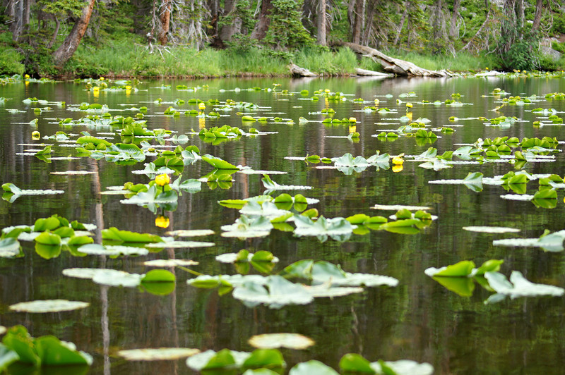July Lilies in Nymph Lake, Rocky Mountain National Park, Colorado.