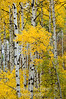 Golden aspens v