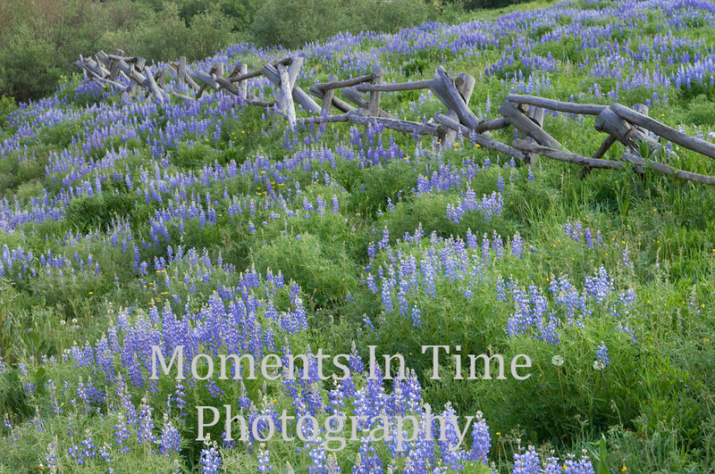 Wild lupine with fence