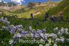 American Basin columbine scene