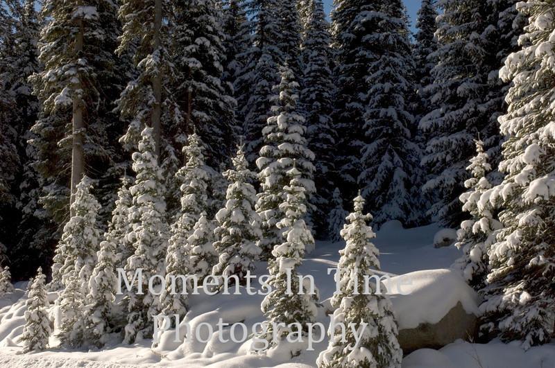 Snowy trees Winter Park