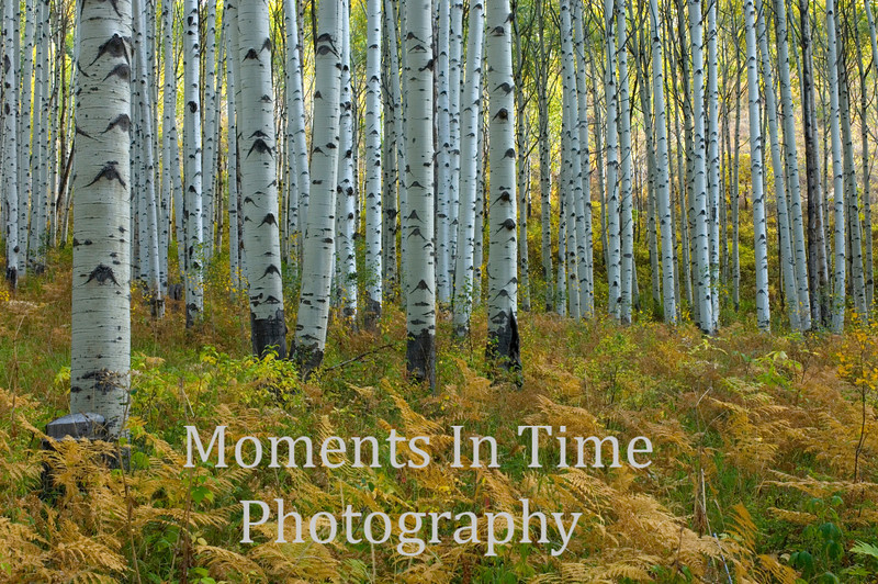 Aspet forest om autumn no sky