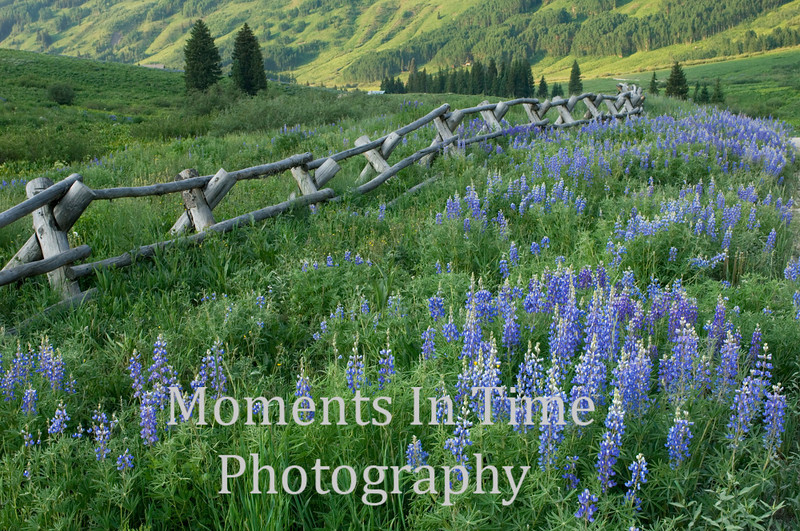 Curving fence with lupine