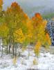Aspen autumnc