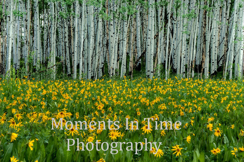 yellow wildflowers, young aspen forest behind