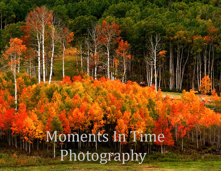 Colorful cluster of aspens