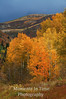 Colorful aspens with hillside of color behind