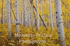 aspen forest, gold, no sky, ground cover