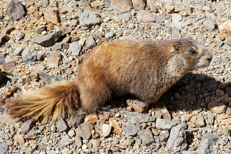 We came across this marmot on the way up to Engineer Pass.  He came right up to the door of the truck and thought about going under the truck.  I took this looking down at him from the driver's seat.