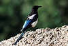 A Black Billed Magpie in the town of Ophir.  There were dozens of these flying around and you could even see nests in the trees.