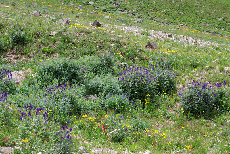 Wild flowers were everyone on the east side of Imogene Pass.