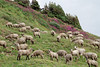 A herd of sheep were grazing as we headed up Porphyry Gulch.