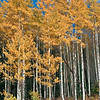 Aspens - Ohio Pass - Gunnison Co., CO
