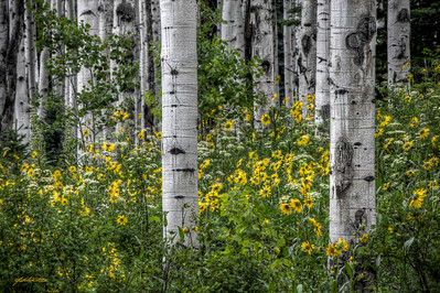 """Aspen Wald"" Wildflowers at their peak between Aspen and Crested Butte, Colorado on Castle Creek Rd.  The wildflowers along this road were absolutely breathtaking.  Make sure to check out my other Colorado Wildflower images form this year."