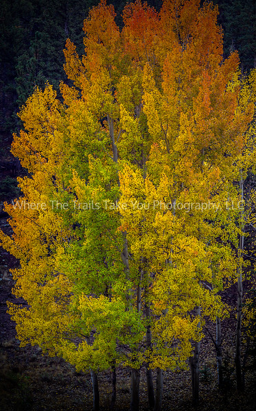 35.  Autumn aspen